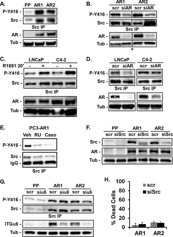 AR stimulates Src activation.