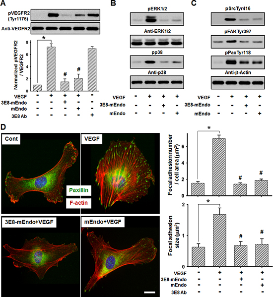 3E8-mEndo significantly inhibits VEGF receptor-2 activation.
