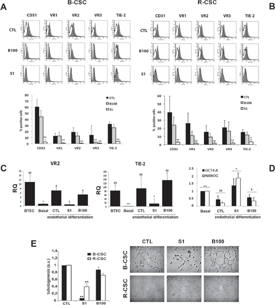 Effect of Bevacizumab and Sunitinib on the endothelial differentiation of CSC.