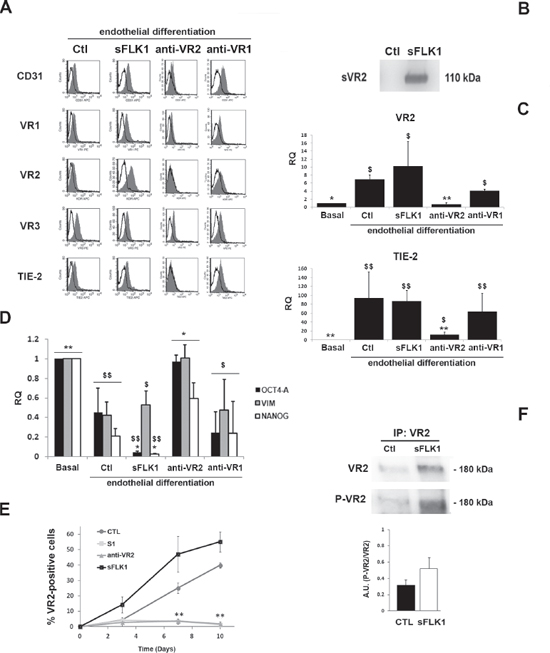 Effect of the VEGF trap sFlk1 and VEGFR blockade on CSC endothelial differentiation.