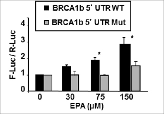 EPA-induced translational up-regulation of reporter genes fused to BRCA1 mRNAb 5'UTR is dependent on the presence of tandem uORFs.