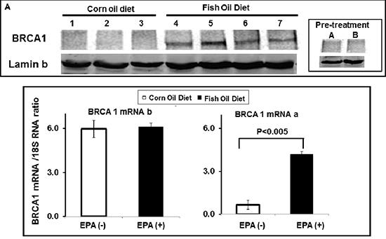 EPA up-regulates BRCA1 in vivo.