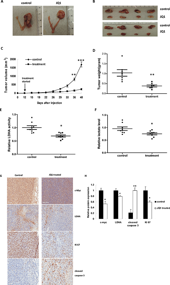 JQ1 significantly suppressed ovarian tumor xenograft growth and downregulated tumor glycolysis.