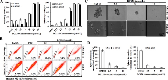 Inhibitory effect of DC120 on cancer stem-like SP cells.