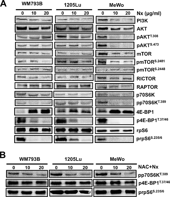 NexrutineR inhibits PI3K/AKT/mTOR signaling through oxidative stress modulation.