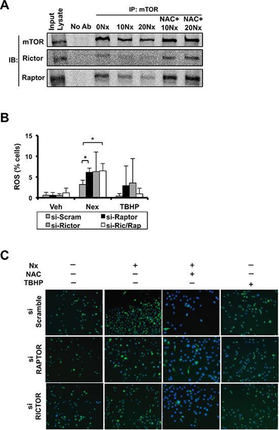 NexrutineR induces oxidative stress and inhibits mTOR signaling in a RAPTOR/RICTOR-independent manner.