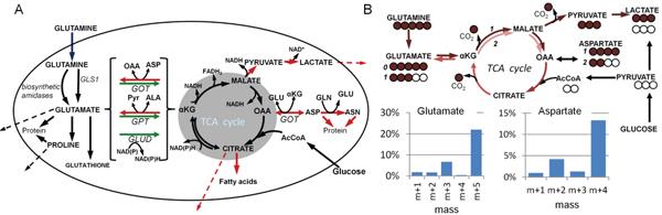 Maps of glutamine metabolism.
