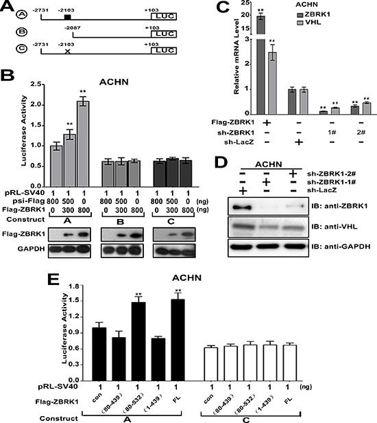 VHL gene is a ZBRK1 target gene.