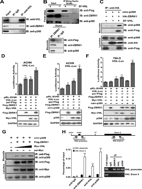ZBRK1, VHL, and p300 form an activator complex co-activates VHL expression via a ZBRK1 recognition element in the VHL promoter.