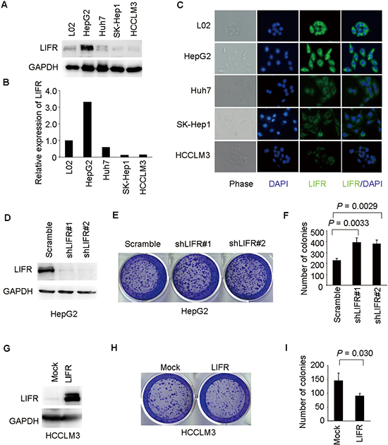 LIFR inhibits ability of colony formation of HCC cells.