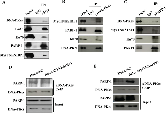 TNKS1BP1 mediated the interaction of DNA-PKcs and PARP-1.