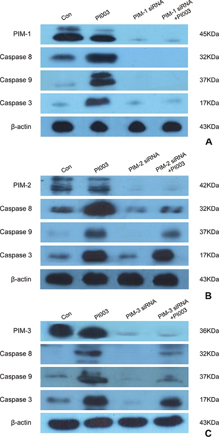 PI003 induces apoptosis by targeting PIM1, PIM2 and PIM3.