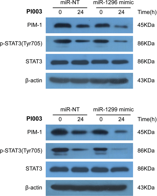 Identification of miR-1296- and miR-1299-regulated mechanisms in PI003-induced apoptosis.