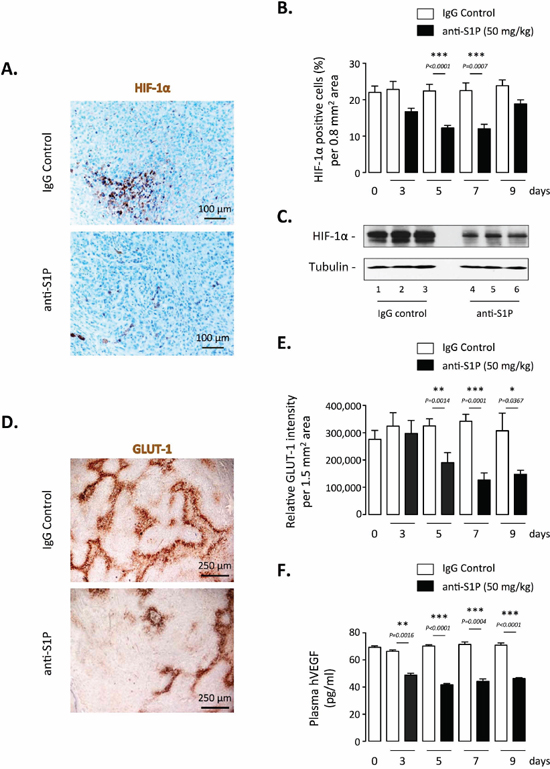 Effect of S1P neutralization on HIF-1α expression and activity in vivo.