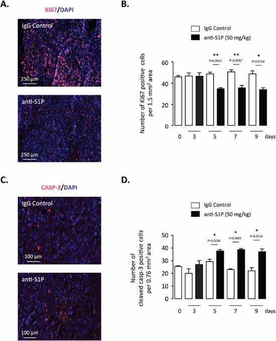Effect of S1P neutralization on tumor cell proliferation and apoptosis of established orthotopic PC-3/GFP tumors in mice.