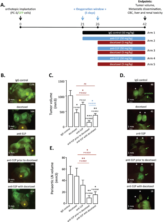 Docetaxel treatment enhancement by rational scheduling of S1P neutralization on established orthotopic PC-3/GFP tumors in mice.