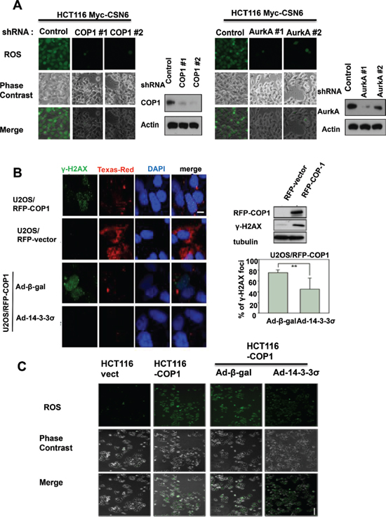 CSN6-mediated ROS production and DNA damage involve COP1 and Aurora A.