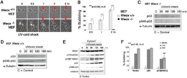 Wwox knockout MEF cells resist bubbling death.