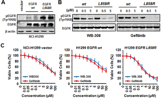 WB-308 exerts the same molecular mechanism with Gefitinib in EGFR mutated NSCLC cells.