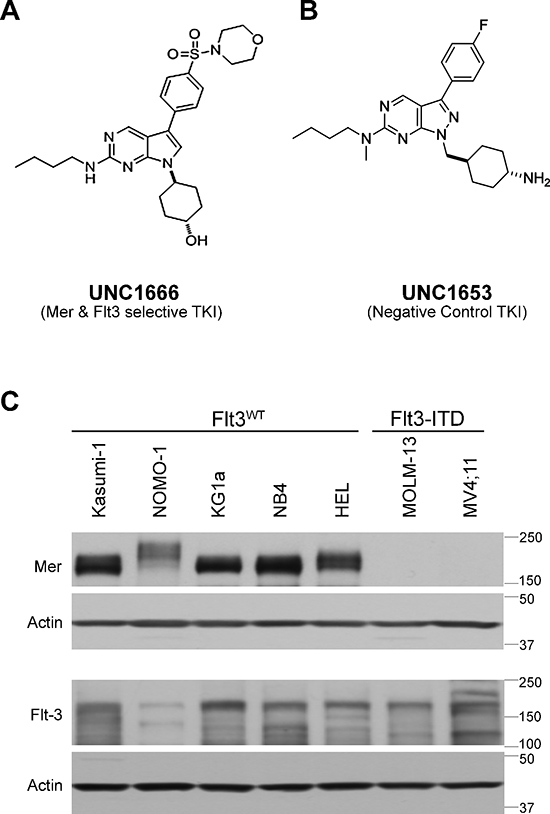 UNC1666 is a novel inhibitor of Mer and Flt3 tyrosine kinases.