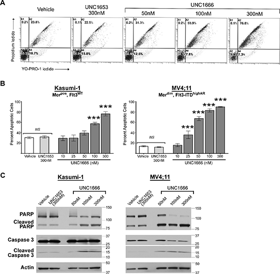 UNC1666 induces apoptosis in myeloblasts expressing Mer or Flt3-ITD.