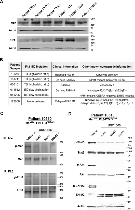 UNC1666 inhibits Mer and Flt3 dependent signaling in AML patient samples.
