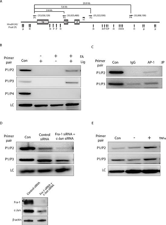 AP-1-mediated chromatin looping regulates ZEB2 transcription.