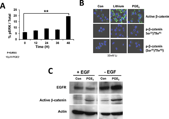 Activation of EGFR receptor monitored by ERK and β-catenin activation.