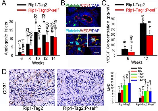 Adherent platelets secrete VEGF, and accelerate angiogenesis.