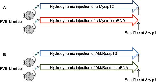 Overall diagram of study design to investigate tumor suppressor activity of miRNA in mice.