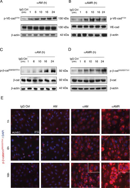αAM and αAMR induce phosphorylation of Tyr731VE-cadherin and Ser33/Ser37/Thr41β-catenin in HUVECs in vitro.