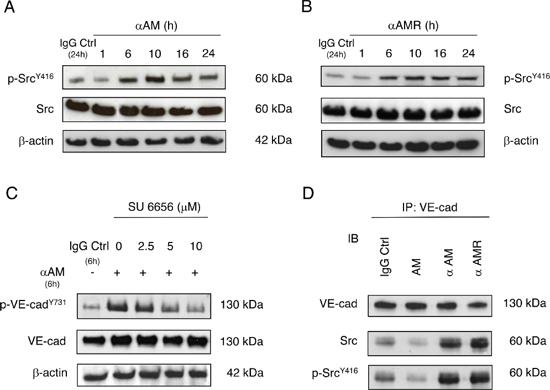 αAM and αAMR induce phosphorylation of Tyr416Src in vitro.