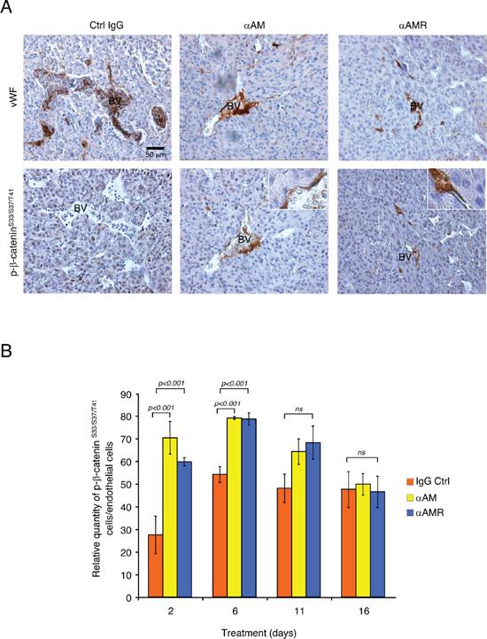 αAM and αAMR induce phosphorylation of β-catenin of vascular endothelial cells in U87 xenografts.