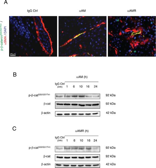 αAM and αAMR induce phosphorylation of Ser33/Ser37/Thr41 β-catenin in pericytes in vivo and in HUVSMCs in vitro.
