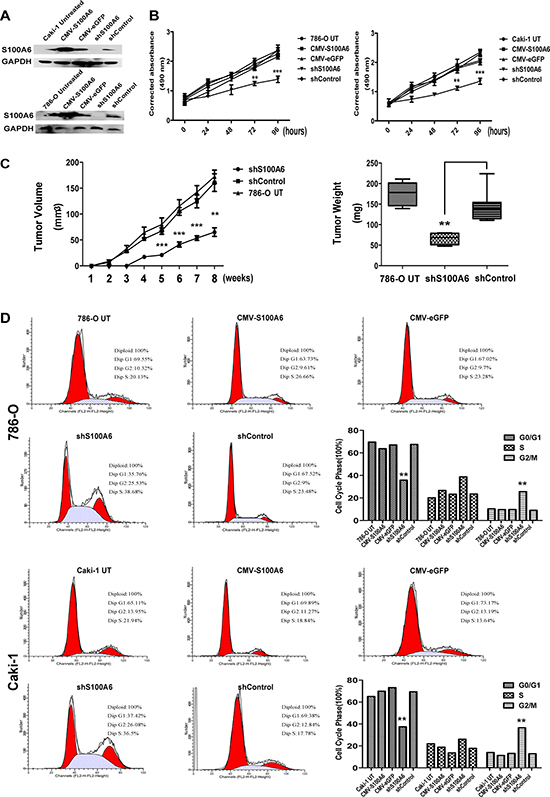 Inhibition of S100A6 suppressed cell proliferation in vitro and vivo, and effected the G2/M phase.