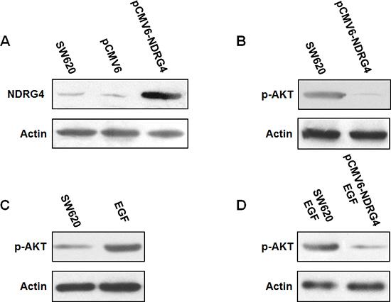 NDRG4 overexpression in SW620 cells reduced PI3K-AKT activation.