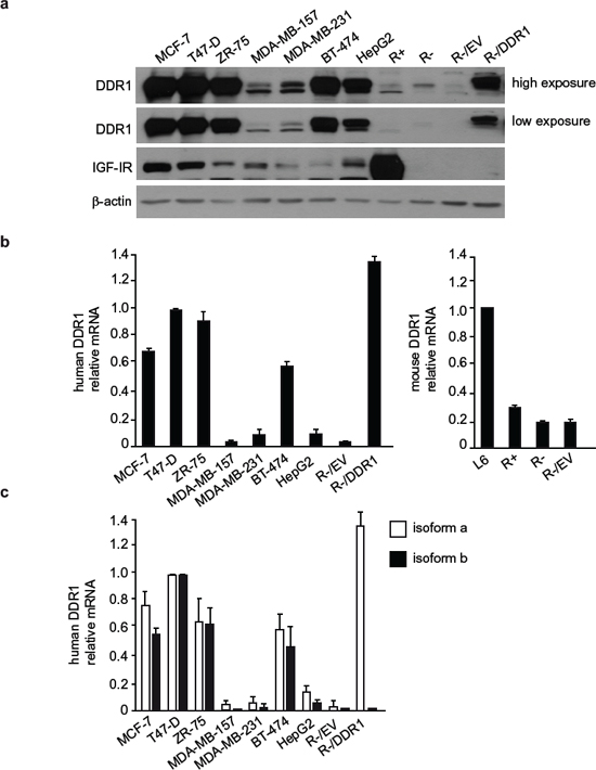 DDR1 and IGF-IR expression in a panel of cultured cells.