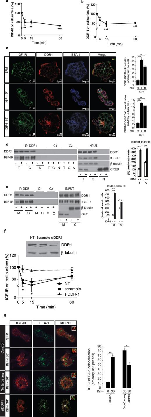 DDR1 co-internalizes with IGF-IR and affects IGF-IR trafficking.