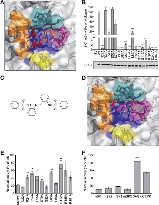 Structural modeling, analysis and virtual screening of the ATP-binding pocket of SK1.