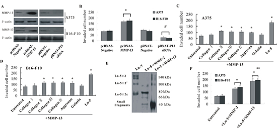 MMP-13 promoted invasion of melanoma cells and cleaved Ln-5 into small molecular weight fragments.