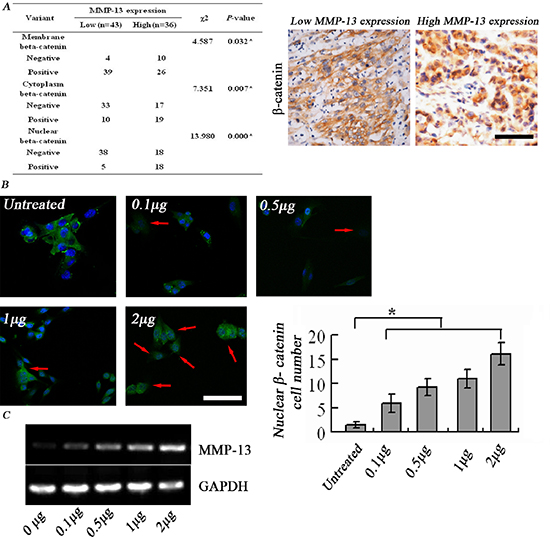 MMP-13 induces nuclear translocation of β-catenin.