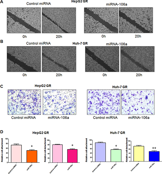 miR-106a inhibits cell migratory and invasive activity.