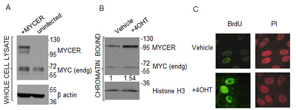 MCF10A-MYCER cells: a model for MYC deregulation.