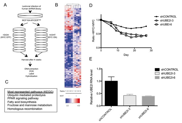 Genome-wide screen for synthetic lethal candidates with MYCER activation.