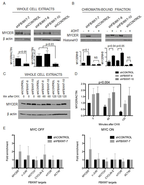 Loss of FBXW7 with MYCER activation results in specific stabilization of active MYCER protein.