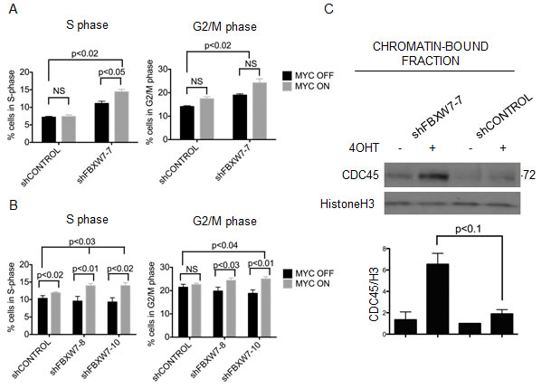 MYCER stabilization results in accumulation of cells in S/G2 phase and chromatin-bound CDC45.