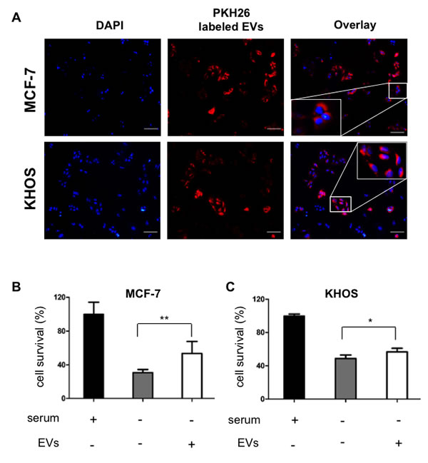 hMSCs derived EVs are internalize by cancer cells and support cell survival.