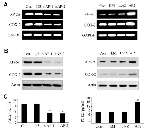 Upregulation of COX-2 and PGE2 by AP-2α in NPC cells.