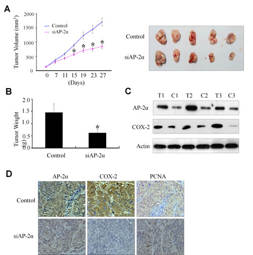 Inhibition of tumor growth by AP-2α siRNA in a xenograft mouse model.