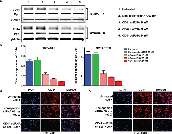 Inhibition of CD44 expression by transfection of CD44 esiRNA in ovarian cancer cell lines.